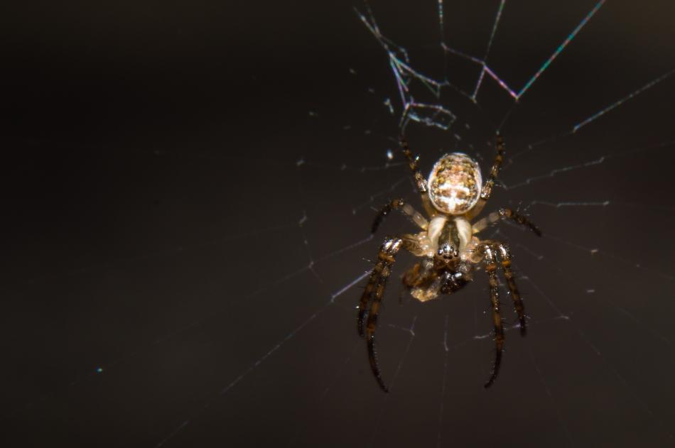 Spider (orange)